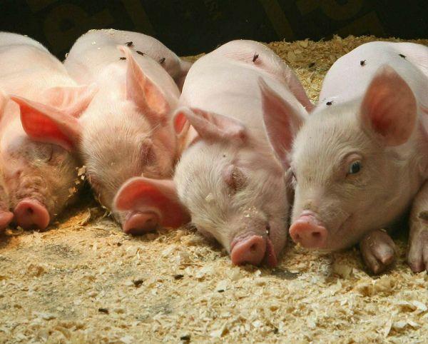 Як підготувати глибоку підстилку для свиней