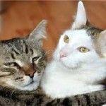 Як подружити кішку