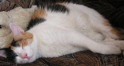 Як допомогти кішці схуднути?