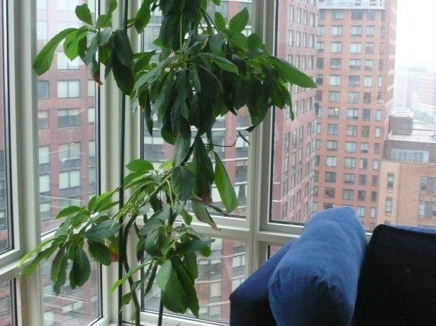 Вирощування авокадо в домашніх умовах - крок перший