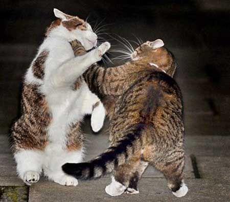 Як запобігти агресивність до інших кішкам.