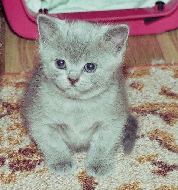 Місячний британский котенок. Фото.