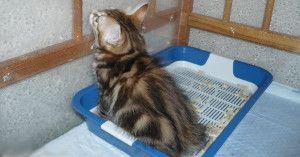 Привчаємо дорослу кішку до туалету