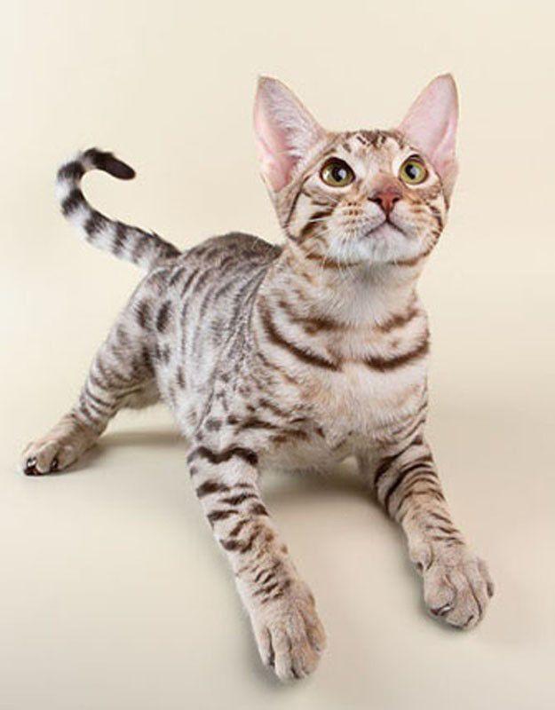 Як привчити кішку до клички