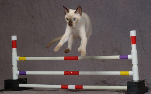 дресирування кішки