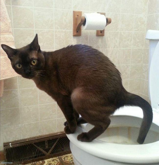 Досить просто показати кішці, де знаходиться санвузол.
