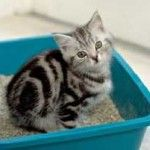 Як привчити кота до туалету