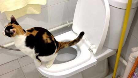 Як привчити кота до унітазу?