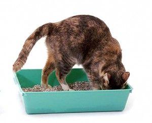 Як привчити кошеня до туалету