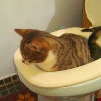 Как приучить котенка к унитазу.