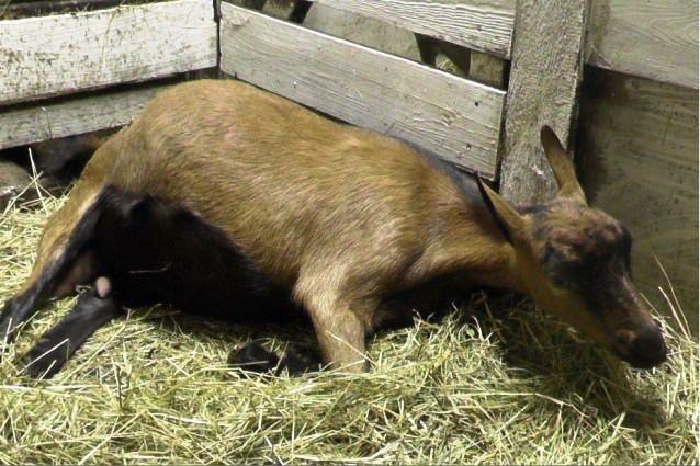 Як відбувається окот кози і як допомогти тварині