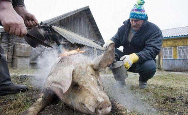 Як обробити свиню правильно: процес в подробицях