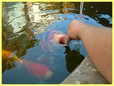Як годувати рибу в ставку