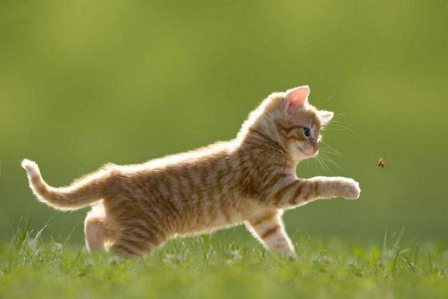Кішки по праву вважаються самими грайливими тваринами.