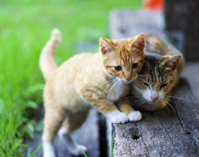 Більшість кішок можуть грати і розважатися годинами.