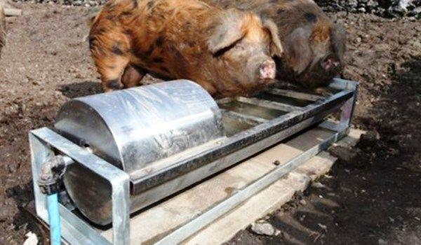 Як самостійно зробити поїлку для свиней