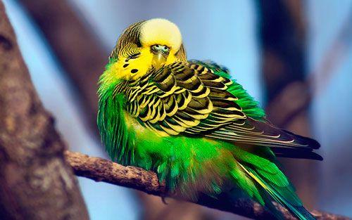 Як зробити з папуги співрозмовника?