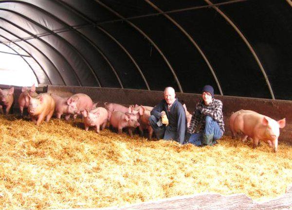 Як знизити витрати на свинарство за допомогою канадською технологією