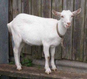 Як доглядати і чим годувати домашню козу?