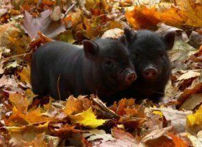 Як доглядати і чим годувати в`єтнамських свинок?