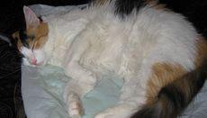 Як доглядати за вагітною кішкою?