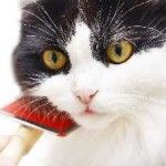 Як доглядати за шерстю кішки