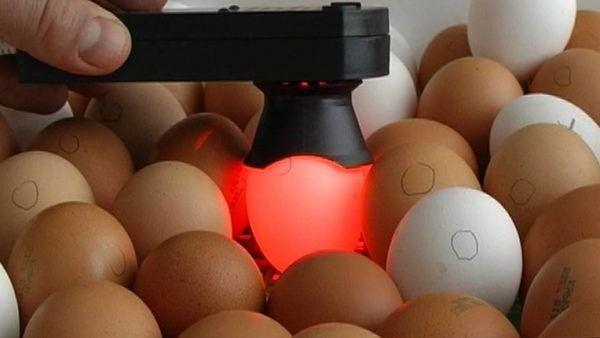 Як вибрати яйця для закладки в інкубатор