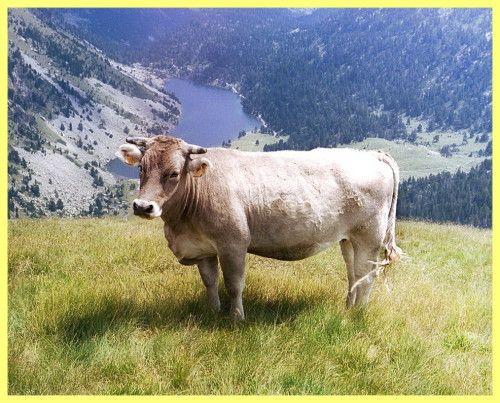 Як вибрати корову при покупці