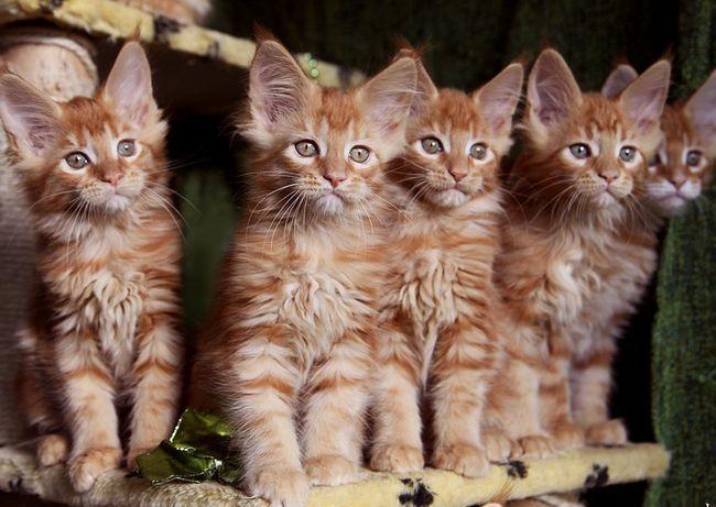 Як вибрати підходящого для розведення кошеня породи мейн-кун