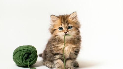 Як вилікувати діарею у кошеняти в домашніх умовах?