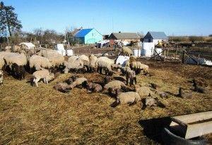 Як вилікувати інфекційне захворювання овець - брадзот