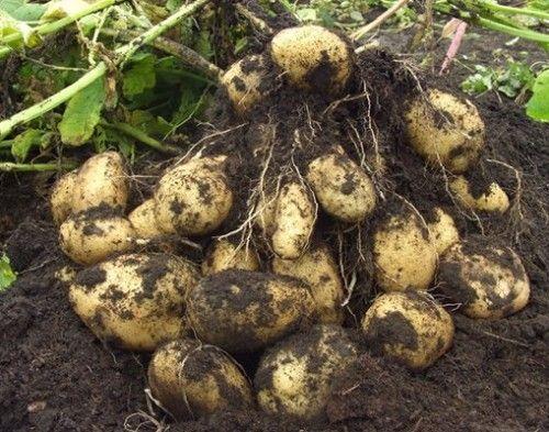 Як виростити великий урожай картоплі