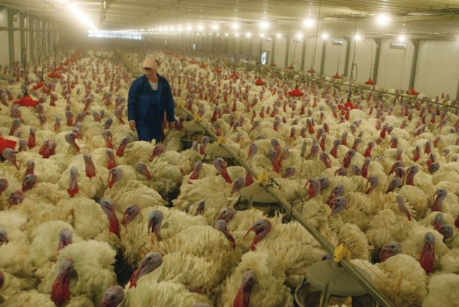 Розведення птахів в промислових масштабах