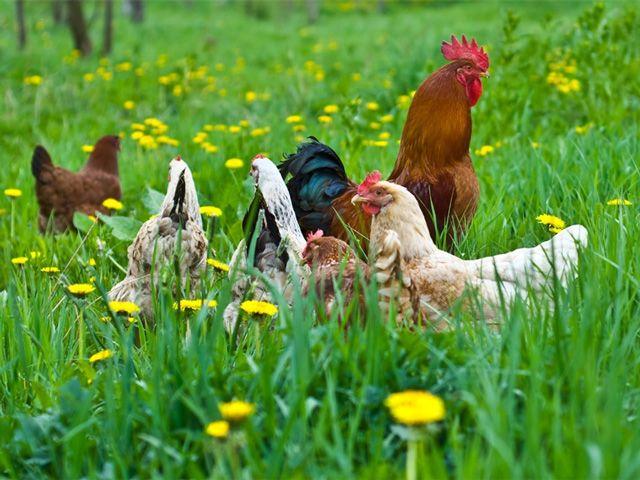 Як захистити курку від вошей: основи лікування і профілактики