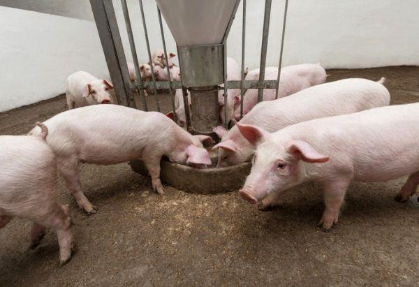Які біодобавки використовувати для зростання свиней?