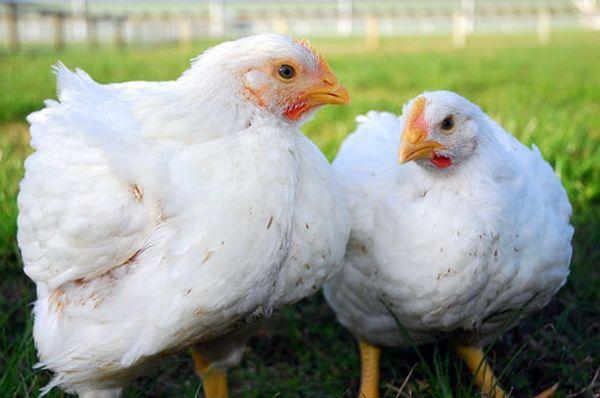 Бройлерних курчат на тлі луки