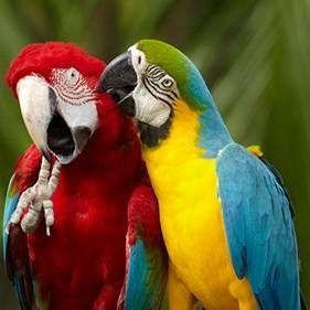 Які папуги розмовляють