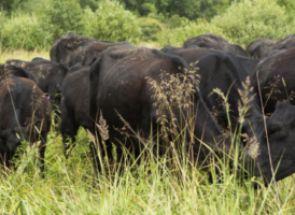 Які породи корів є комолі?