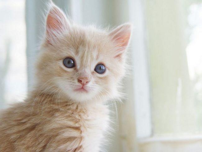 Щеплення дуже важливі для здоров`я кішки
