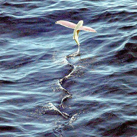 Які риби вміють літати?