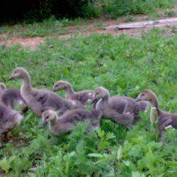 Молодняк гусей в траві