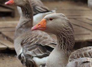 Які секрети зберігають великі сірі гуси?