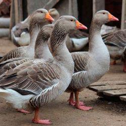 Сірі гуси на подвір`ї
