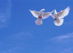 Яких голубів розводять в азії і на кавказі?