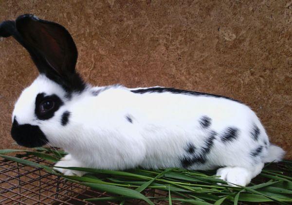 Яких кроликів вигідніше розводити?
