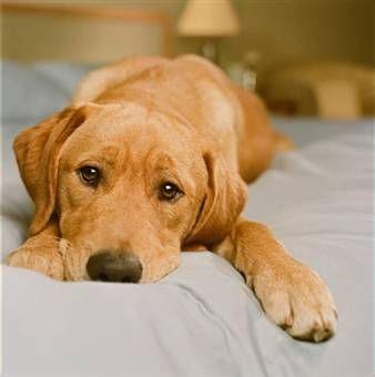 Яке зір у собак, відміну від людського зору і котячого, догляд за очима собаки