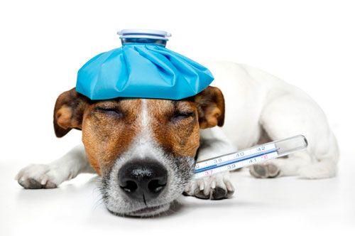 Якою має бути температура тіла у собак