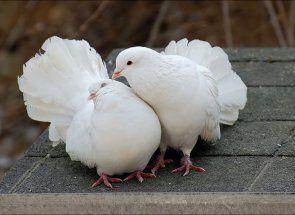 Який термін життя відміряє голубу?
