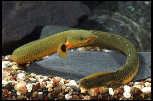 Каламоїхт калабарський калабарских, або риба-змія