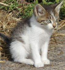 сільський кошеня